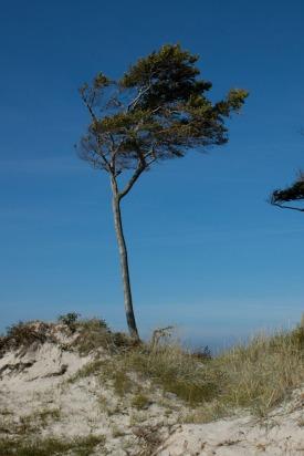 Windflüchter Prerow Weststrand